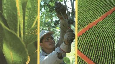 Парагвайский падуб — как выращивается дерево, из которого делают мате